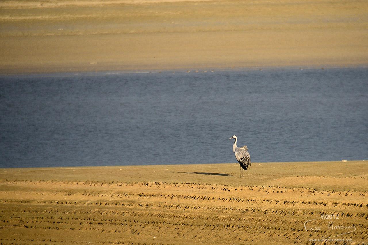 Grue cendrée au bord du lac du Der