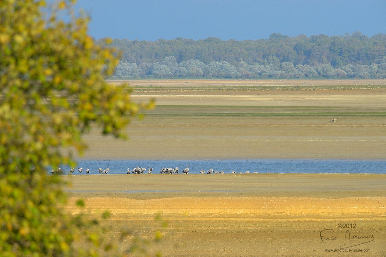 Grues cendrées au sol au lac du Der