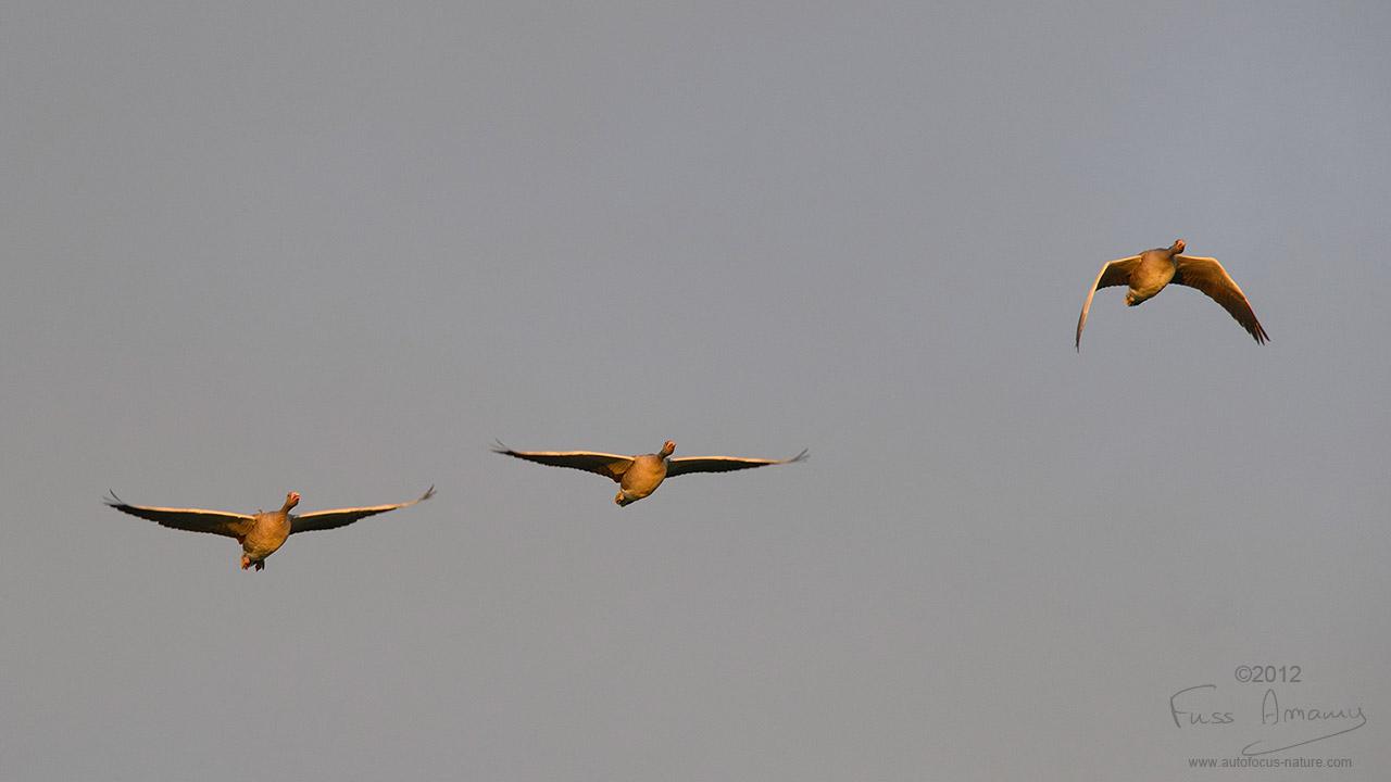 Vol d'oies cendrées au dessus du Lac du Der
