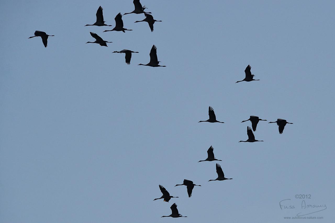 Vol de grues cendrées au dessus du lac du der