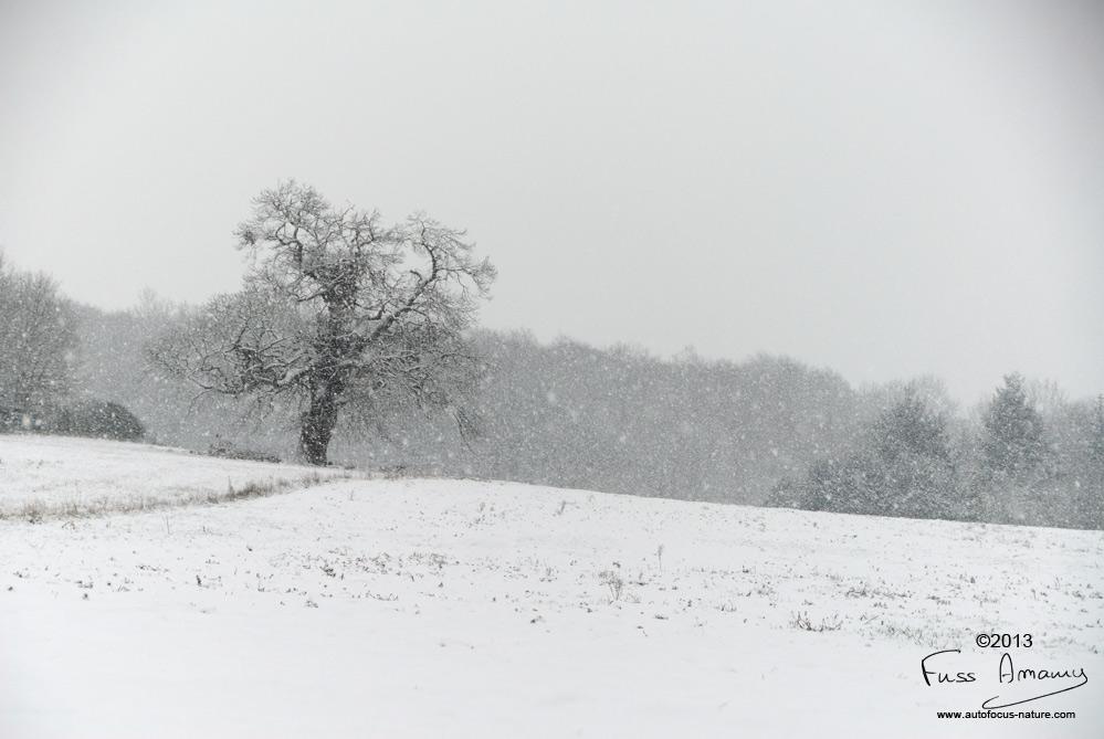 Chataignier sous la neige