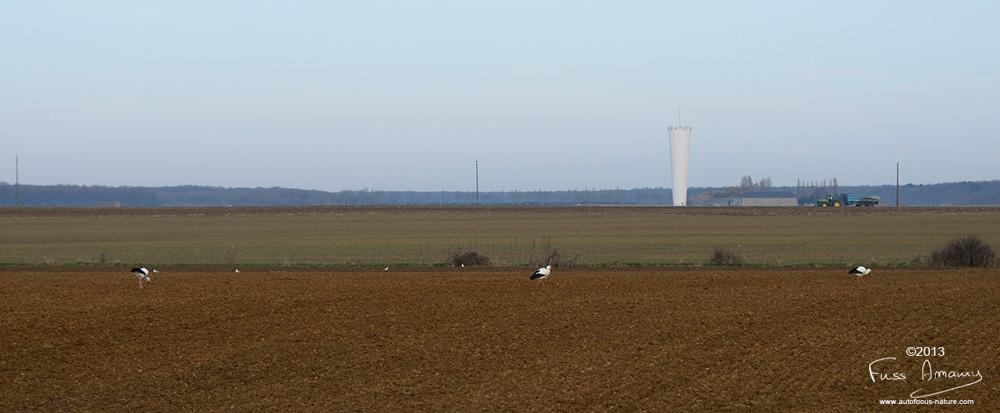 Cigognes le long de la route dans les Yvelines
