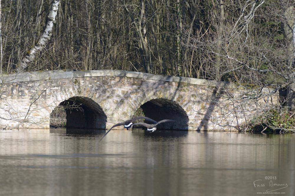 Oies Bernarches devant le pont de la réserve naturelle de Bonnelles