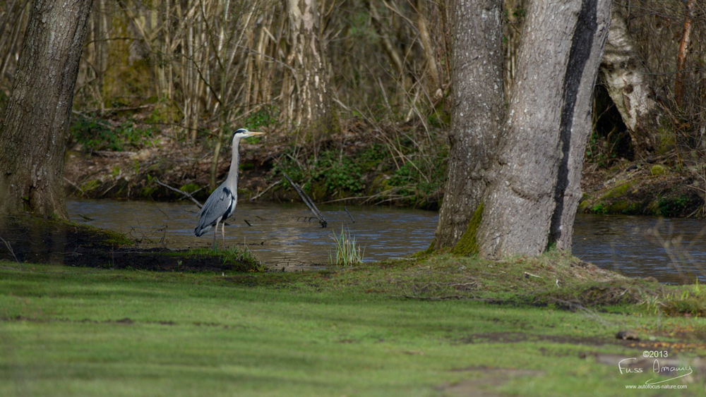 Héron pêchant dans l'étang