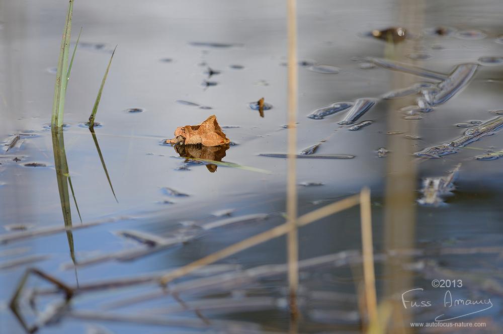 Feuille morte sur l'étang de Bonnelles
