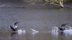 Foulques sur l'étang de Bonnelles