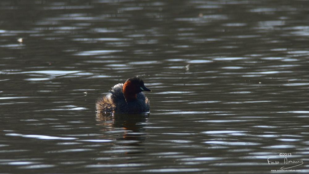 Grebe Castagneux sur l'étang des 3 ducs