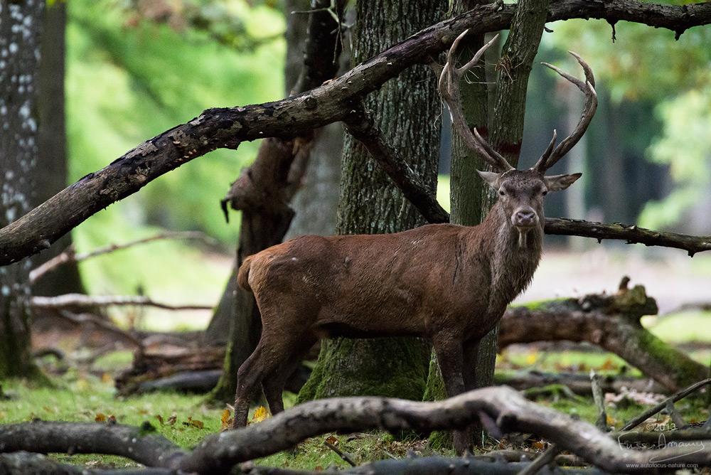 Un grand cerf dans la forêt